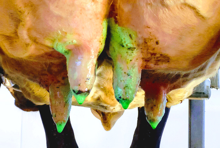 Preventing mastitis in dairy cattle by cleaning and disinfecting the udder