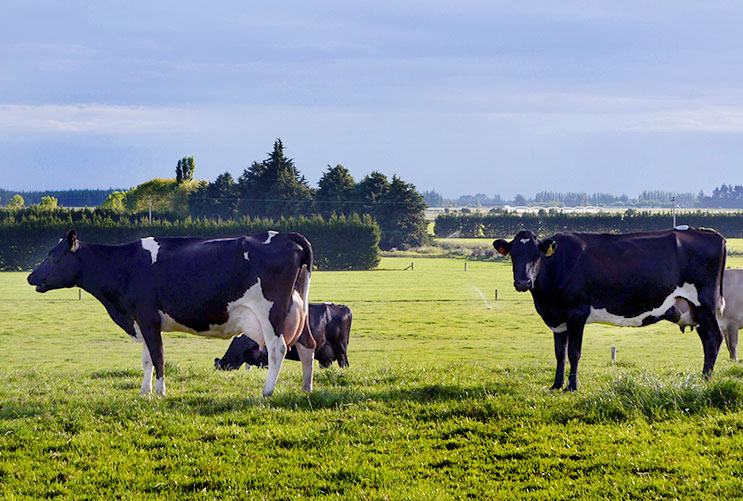 MASTIITS VACCINATION: Mastitis in dairy cows
