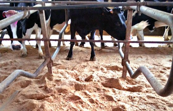 Bedding-materials-for-preventing-mastitis-in-dairy-farms2