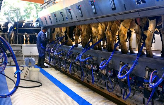 Milking machine. Efficient milking routine does not only mean reducing the milking time, but also reducing the risk of bovine mastitis in dairy cows.