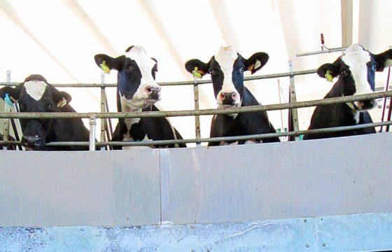 best-teat-dip-udder-mastitis-milking-cows